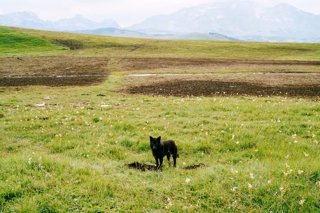 Cão pastor preto parado na grama do parque nacional durmitor, em montenegro