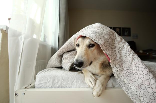 Cão pastor tranquilo descansando na cama debaixo do cobertor e olhando para a câmera