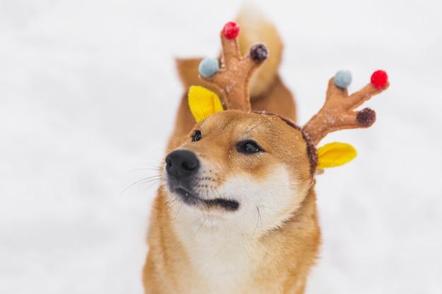 Cão pedigreed do bronw engraçado em chifres coloridos. decorações de ano novo. shiba inu