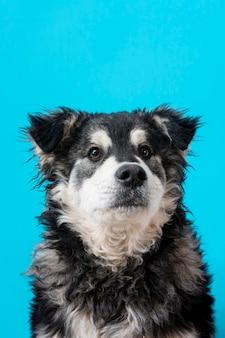 Cão peludo sobre fundo azul