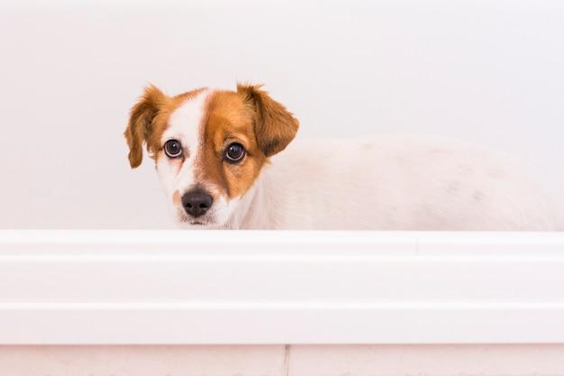 Cão pequeno adorável bonito pronto para tomar um banho na banheira. dentro de casa. casa, banheiro.