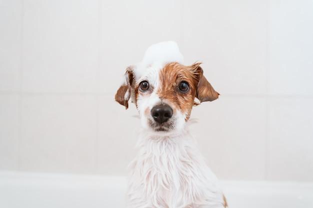 Cão pequeno adorável lindo molhado na banheira, cachorro limpo com sabão de espuma engraçado na cabeça. animais domésticos