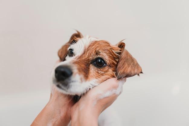 Cão pequeno adorável lindo molhado na banheira. dono de mulher jovem, recebendo seu cachorro limpo em casa