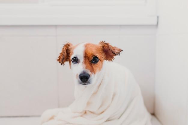 Cão pequeno adorável lindo molhado na banheira. dono de mulher jovem, recebendo seu cachorro seco em casa