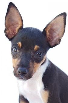 Cão pequeno adorável um sobre o fundo branco