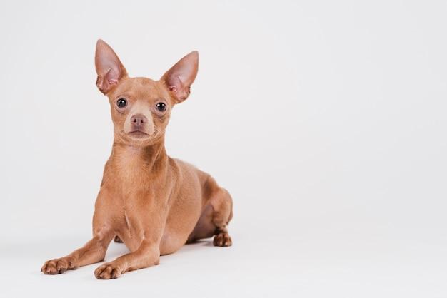 Cão pequeno bonito com espaço de cópia