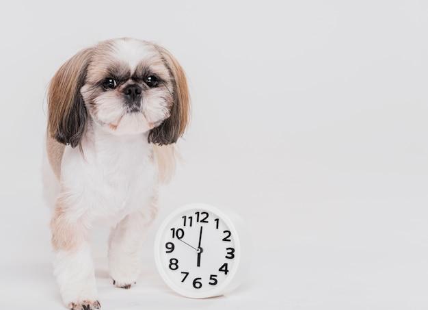 Cão pequeno bonito com um relógio