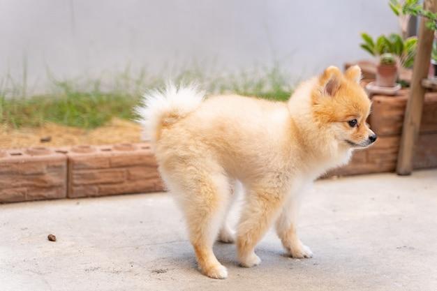 Cão pequeno bonito da pomerânia fazendo cocô para fora da área preparada.