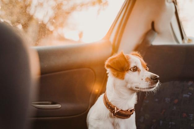 Cão pequeno bonito de russell do jaque em um carro no por do sol luz traseira.