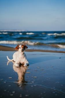 Cão pequeno bonito de russell do jaque que encontra-se para baixo na praia. reflexo na água