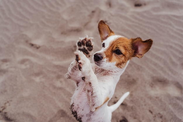Cão pequeno bonito do jack russell terrier que anda em duas patas que pedem deleites deliciosos. animais de estimação ao ar livre e estilo de vida. b