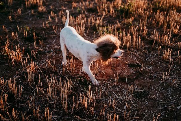 Cão pequeno bonito do terrier de russell do jaque em um campo amarelo no por do sol. vestindo uma fantasia de rei leão engraçado na cabeça. animais de estimação ao ar livre e humor