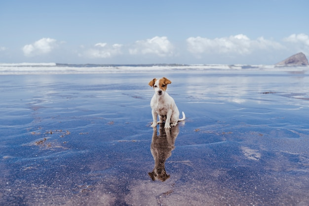 Cão pequeno bonito do terrier de russell do jaque na praia que olha a câmera. reflexão sobre o mar de água.
