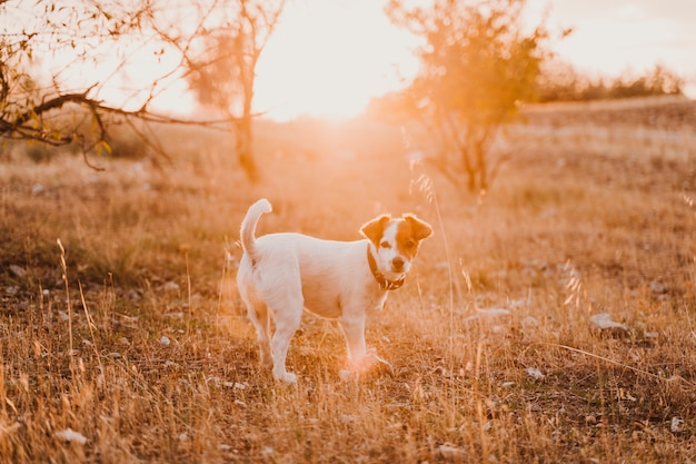 Cão pequeno bonito do terrier de russell do jaque no por do sol em um campo. hora dourada. animais de estimação e diversão ao ar livre