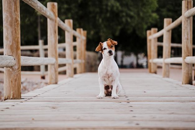 Cão pequeno bonito do terrier de russell do jaque que encontra-se em uma ponte de madeira ao ar livre e que procura algo ou alguém. animais de estimação ao ar livre e estilo de vida