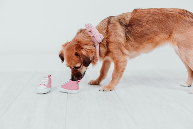 Cão pequeno bonito em casa cheirando sapatinhos de bebê rosa minúsculos. conceito de família