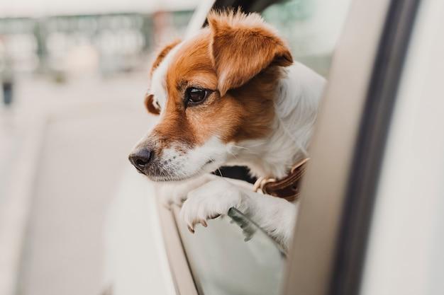 Cão pequeno bonito jack russell em um carro olhando pela janela