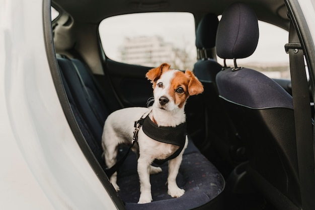 Cão pequeno bonito jack russell em um carro usando um cinto e cinto de segurança