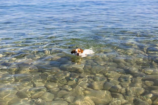 Cão pequeno bonito nadando na água bonita de ibiza. conceito de verão e feriados