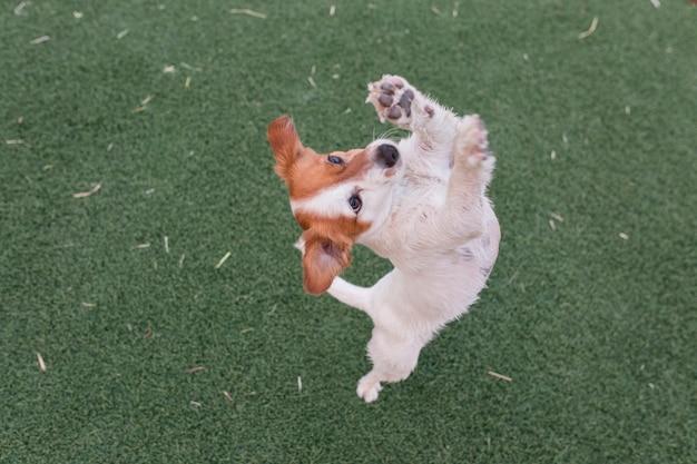 Cão pequeno bonito pedindo comida ou guloseimas em pé sobre as duas pernas