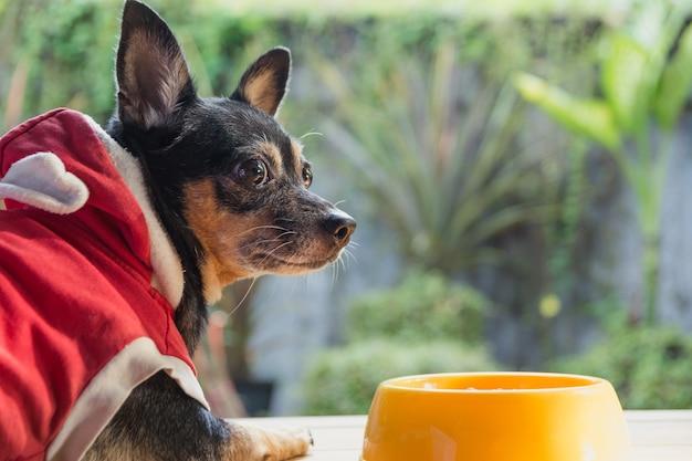 Cão pequeno bonito que come com a bacia de alimento para cães. animais de estimação está alimentando o conceito.