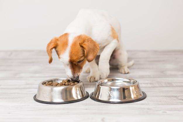Cão pequeno bonito sentado e comendo sua tigela de comida de cachorro