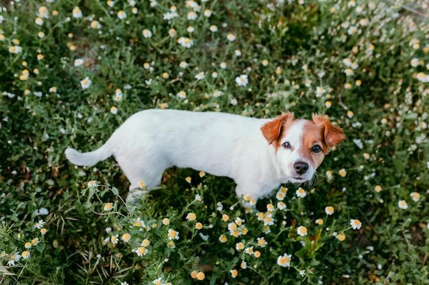 Cão pequeno bonito sentado em um campo de flores margarida. primavera, retrato de estimação ao ar livre. adorável cachorro olhando para a câmera