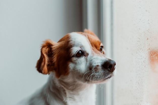 Cão pequeno bonito sentado perto da janela. cachorro olhando entediado ou triste.