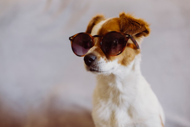 Cão pequeno bonito usando óculos de sol modernos, sentado no sofá. fundo cinza. dentro de casa. amor pelo conceito de animais