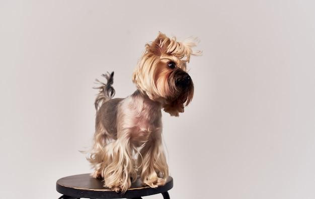 Cão pequeno corgi de raça pura com rabo de cavalo na cabeça animal de estimação com fundo bege