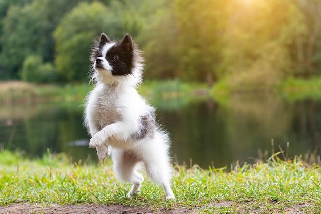 Cão pequeno da pomerânia na natureza