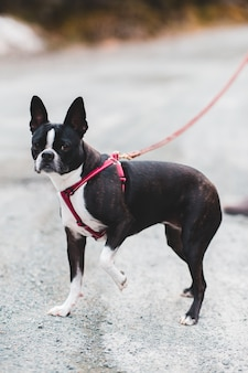 Cão pequeno de pêlo curto preto e branco com trela vermelha