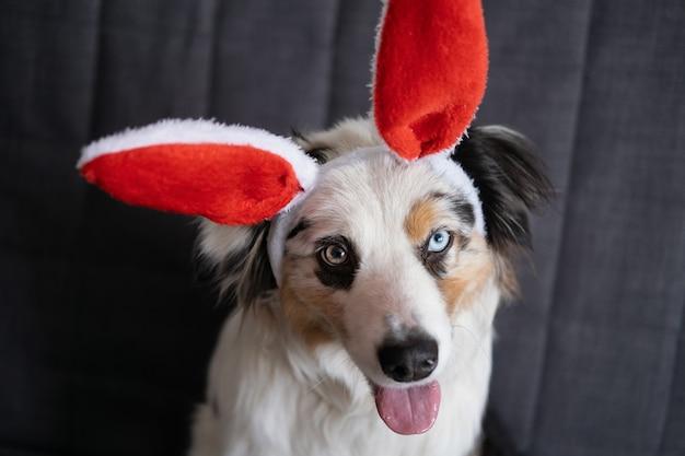 Cão pequeno e curioso pastor australiano merle azul com orelhas de coelho. páscoa. deitado no sofá-sofá. feliz páscoa