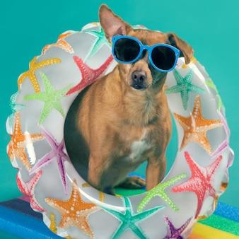 Cão pequeno em óculos de sol, um círculo inflável no pescoço, parece interessado, conceito de atividades ao ar livre e férias, close-up
