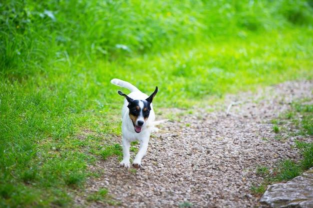 Cão pequeno está jogando em um prado verde