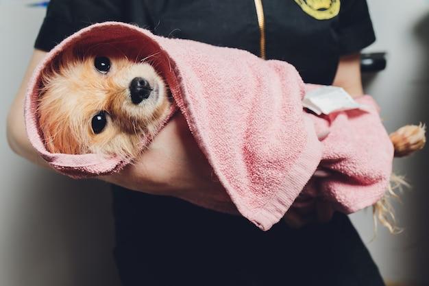 Cão pequeno fofo pomeranian bonito em uma toalha branca e rosa após o banho, preparação.