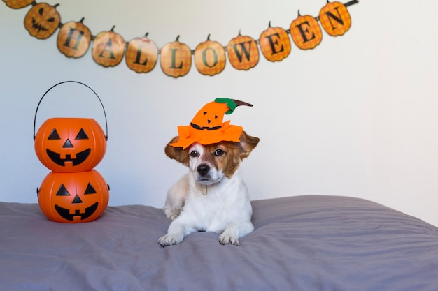 Cão pequeno jovem bonito deitado na cama com uma fantasia de halloween e decoração. abóboras ao lado dele. animais de estimação dentro de casa.