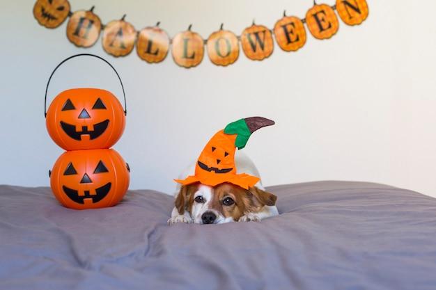 Cão pequeno jovem bonito deitado na cama com uma fantasia de halloween e decoração. animais de estimação dentro de casa.