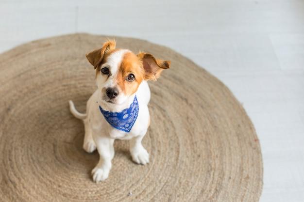 Cão pequeno jovem feliz sentado em um tapete marrom e olhando para a câmera