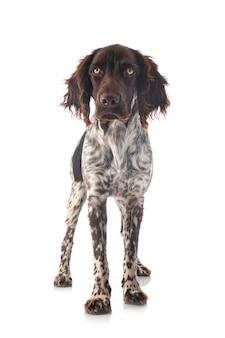 Cão pequeno munsterlander isolado