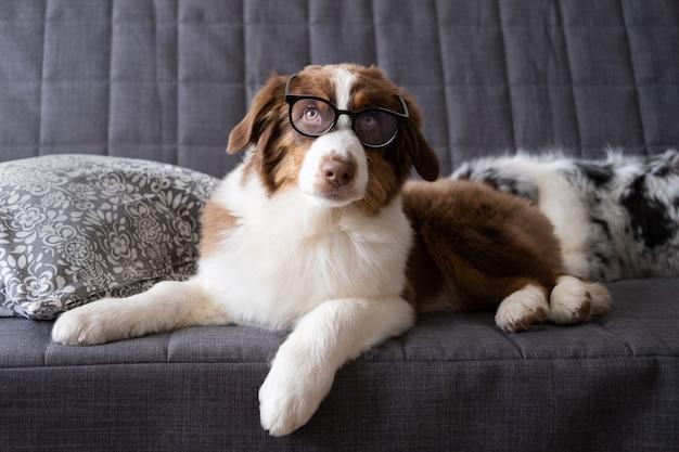 Cão pequeno pastor australiano fofo vermelho três cores com óculos. aprendizagem, treinamento. deitado no sofá sofá. conceito de educação.