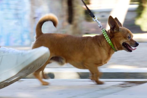 Cão pequeno que funciona com o proprietário na rua