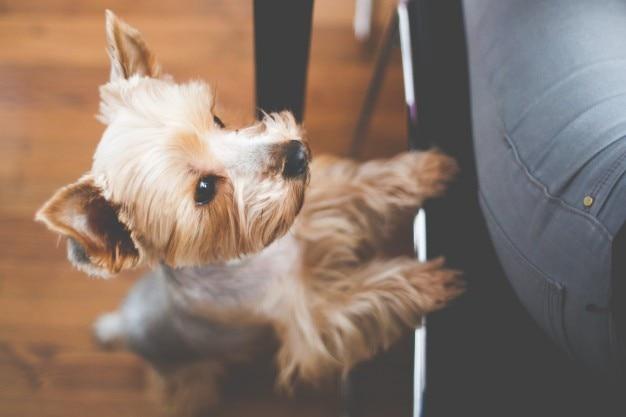 Cão pequeno yorkshire