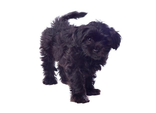 Cão pequinês preto bonito