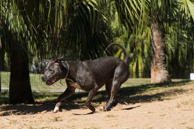 Cão pit bull a brincar no parque. o pitbull aproveita o dia de sol para se divertir.