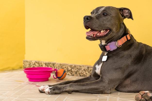 Cão pit bull no quintal da casa. nariz pitbull azul com olhos cor de mel. casa com muro amarelo e jardim.