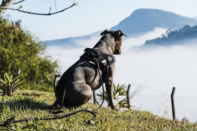Cão pit bull, observando as nuvens e o nevoeiro na montanha ao nascer do sol. nariz pitbull azul em um dia ensolarado com grama verde e bela vista ao fundo. foco seletivo.