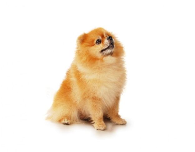 Cão pomerânia vermelho fofo