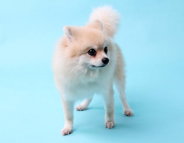 Cão pomerânia