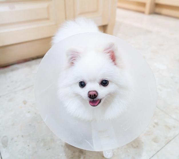Cão pomeranian branco com coleira